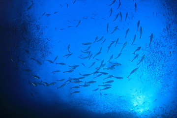 Tuna fish hunting sardines