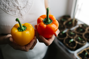 seedlings in peat pots. Early seedling , grown from seeds in boxes at home on the windowsill. woman farmer holds in his hands the color bell pepper. concept: gardening, vegetarianism, healthy diet