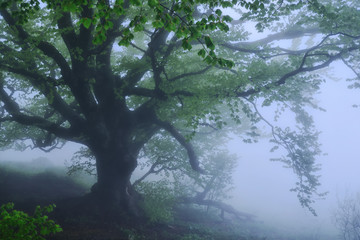 Large tree in the fog in the forest early in the morning