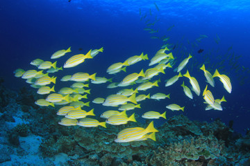Fish on coral reef - Snapper fish