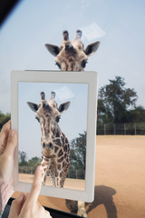 Tourist girl taking giraffe photo from car by computer tablet.