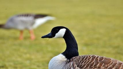 Waterfowl duck