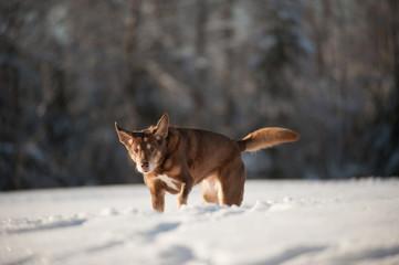 Labrador Retriever Dog In Action