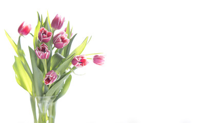 Pink spring tulips in vase on white background