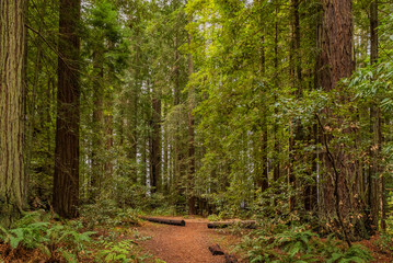 Fern below giant sequoias in Redwoods Forest in California
