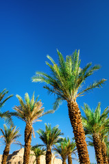 Green tropical palm trees over clear blue sky. Summer and travel concept. Holiday background. Palm leaves and branches texture with copy space