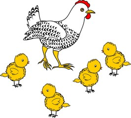 White hen with small yellow chicks on white background