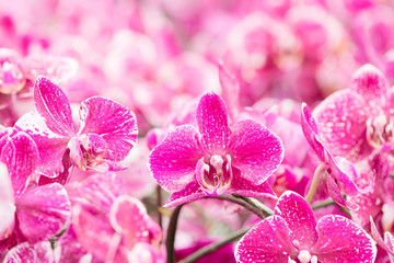 Closeup of orchid phalaenopsis. Bouquet of flowers orchids