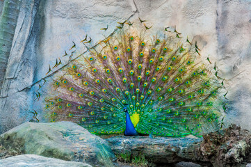 Close up of peacock showing its beautiful feathers. male peacock displaying his tail feathers. Spread tail-feathers of peacock are dating. Peacock closeup with Feather open