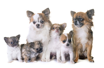 puppies chihuahua and adults
