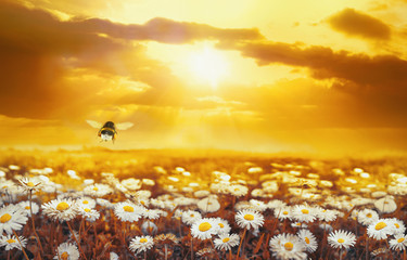 Fototapete - A lot of chamomile in summer meadow in nature in sunshine at sunset and a flying bumblebee. Beautiful summer landscape with field of daisies in golden colors of sunset. Summer wallpapers.