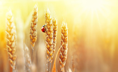 Fototapete - Golden ripe ears of wheat and ladybug on nature in summer field at sunset rays of sunshine, close-up macro with free space. Summer background, template, wallpaper, copy space.