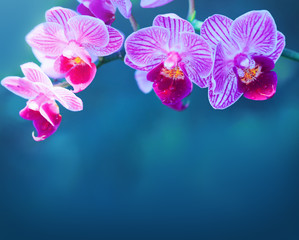 Pink orchid flowers isolated.