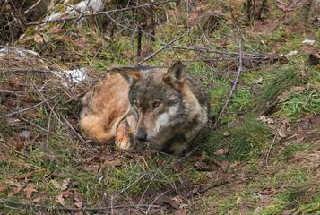 Ritratto di un lupo che si rilassa nella foresta