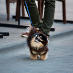angry dog bites his leash while he walks with a man in the city. pomeranian puppy