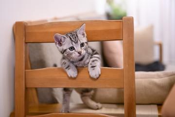 Cute American short hair cat cub