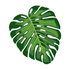 leaf tropical monstera