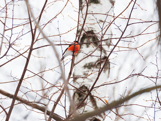 Natural winter background - frozen branches and male bullfinch. Russia.