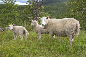 sheep in the mountains of Harstad at Lofoten in Norway