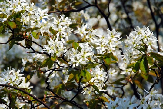 White blossoming branches of juneberry or snowy mespilus or Amelanchier lamarckii