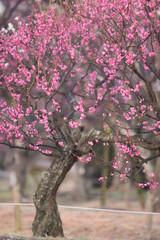 梅の花とメジロ