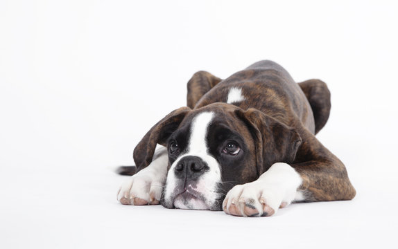 Boxer puppy lying isolated