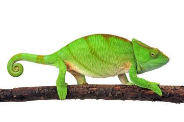 Fototapeten Chamaleon Parsons Chamäleon (Calumma parsonii) - Parson's chameleon