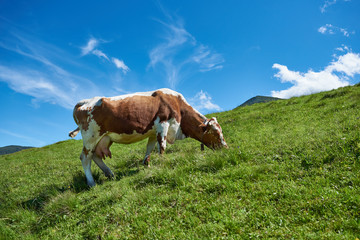 A cow grazing on a mountain slope in summer. Wall mural