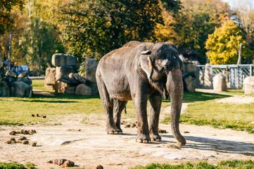 Elephants in wild nature in Africa. Danger huge animal in natural habitat in summer. Sunny day in autumn southern safari park. Beautiful mammal herbivore rest under sun light outdoor in savannah.