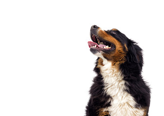 portrait of a Bernese Mountain Dog