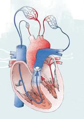 medical drawing of human heart