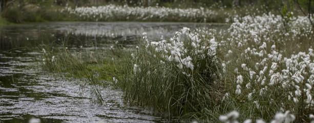 Wollgräser (Eriophorum)