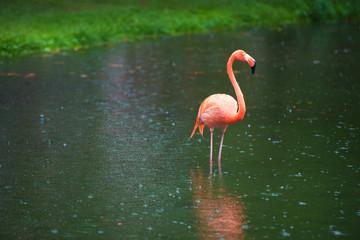 Garden Poster Flamingo The pink Caribbean flamingo goes on water. Pink flamingo goes on a swamp