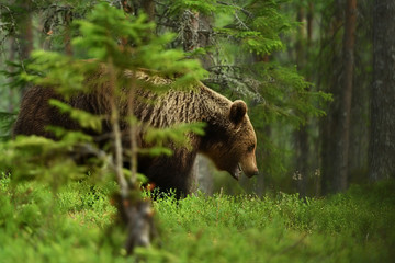Brown bear in a forest behind a tree