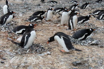 Gentoo penguin put stone in nest