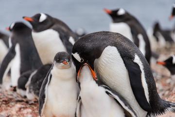 Gentoo penguin feeds chick in nest