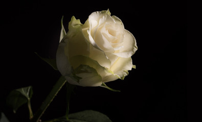 Closeup photo of a white rose