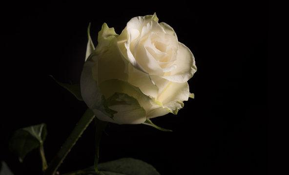Closeup photo of a white rose