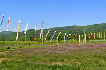 れんげ草とこいのぼり