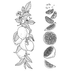 Set with lemon plant.Vertical branch with flowers and fruits