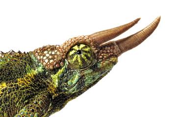 Foto auf Leinwand Chamaleon Dreihornchamäleon (Trioceros jacksonii) - Jackson's chameleon