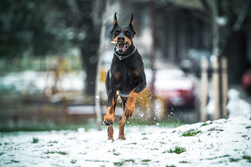 Running doberman with the wooden stick in mouth,selective focus and blurred motion
