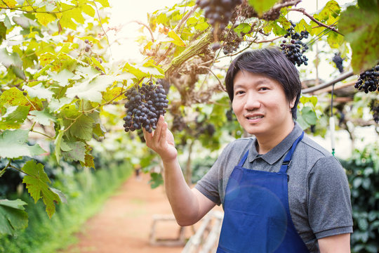 Happy owner senior asian man working and gardening his farm, vineyards in autumn harvest the orchard of ripe red grapes, small business owner concept