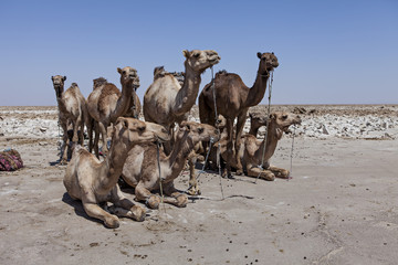 camels in the ethiopian desert