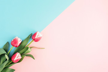Pink tulips on minimal background with blue and pink color. Top view, copy space.