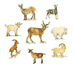 Goat set watercolo drawing