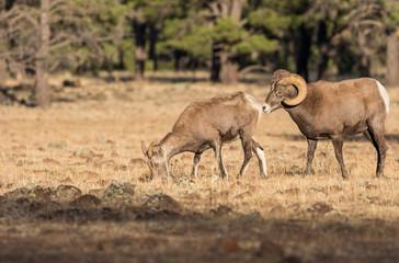 Bighorn Sheep in the Fall Rut