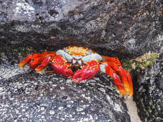Sally lightfoot crab sitting on stones on galapagos islands