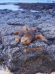 Marine iguana on santiago island in galapagos national park