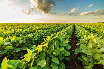 Green ripening soybean field, agricultural landscape Fototapete
